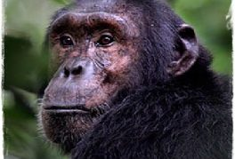 Primate Safari Uganda – 5 Days